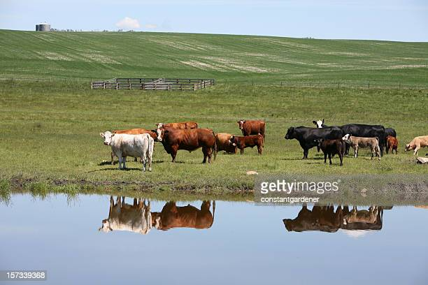 Cattle On The Ranch Reflection.