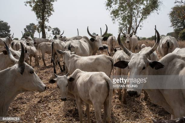 Cattle owned by Fulani herdsmen graze in a field outside Kaduna northwest Nigeria on February 22 2017 Longstanding tensions between herdsmen and...