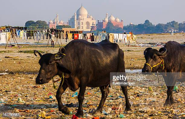 Cattle pass local people making laundry near the famous indian sightseeing point Taj Mahal on December 01 2012 in Agra Uttar Pradesh India The UNESCO...