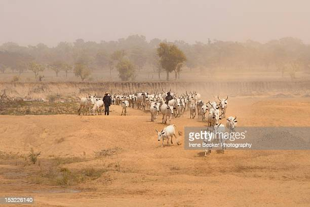 cattle - fulani stock photos and pictures
