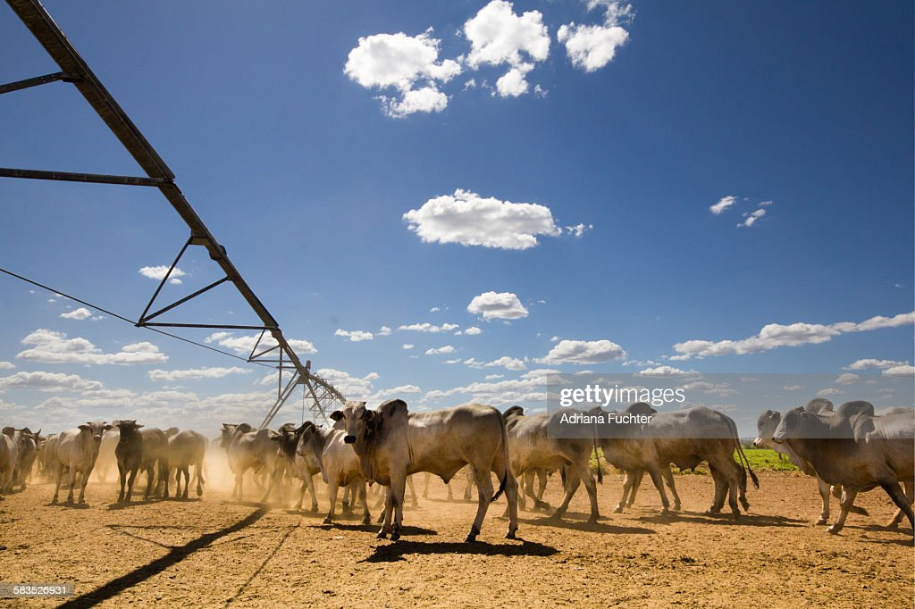 Cattle : Stock Photo