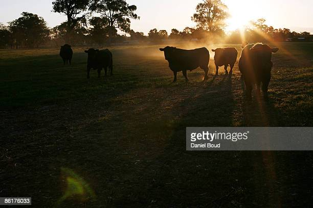 cattle - wagga wagga stock pictures, royalty-free photos & images