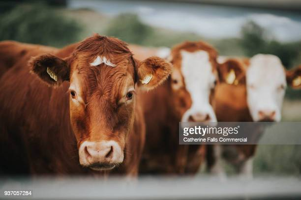 cattle - livestock stock pictures, royalty-free photos & images