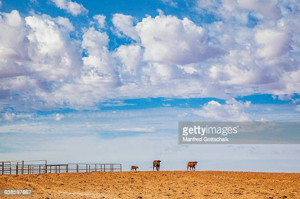 cattle race at anna creek station - anna creek station stockfoto's en -beelden
