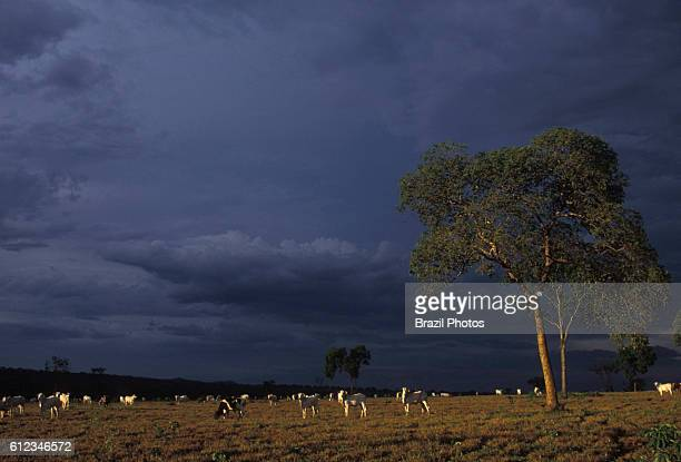 Cattle raising dark purple clouds indicate storm formation imminent rain Mato Grosso do Sul State Midwest Brazil