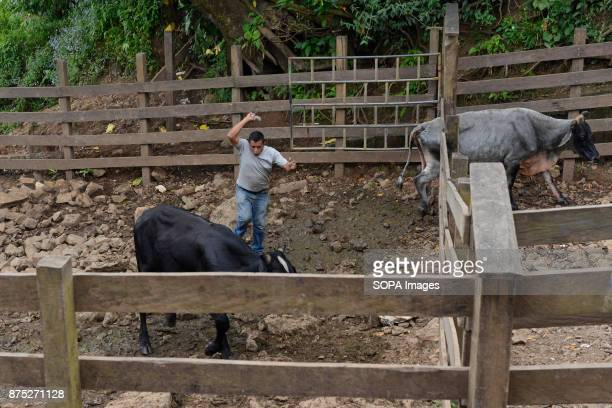 A cattle rancher in El Rama a small town in the South Caribbean Coast Autonomous region of Nicaragua Cattle breeding in Nicaragua has been a...
