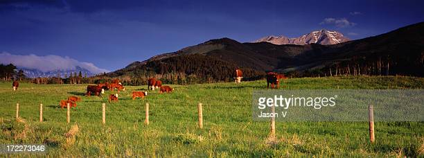 Cattle Ranching Panoramic