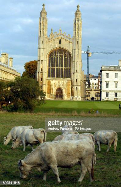 Cattle return to the rich pastures of King's College Cambridge for the first time since foot and mouth swept Britain 18 months ago The cattle on...