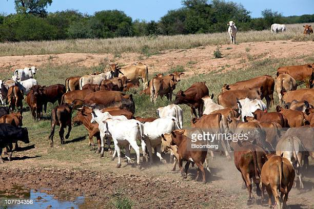 Cattle roam on a ranch in the Chaco region of Paraguay on Wednesday Dec 15 2010 Paraguay exported 254000 metric tons of beef in 2010 a 142 percent...