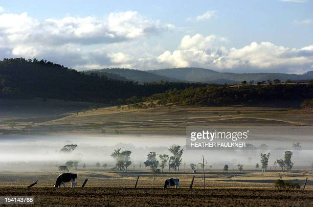 Cattle scrounge for fodder amid the morning mist on a drought stricken property near Toowoomba west of Brisbane 08 June 2005 Senior economists have...