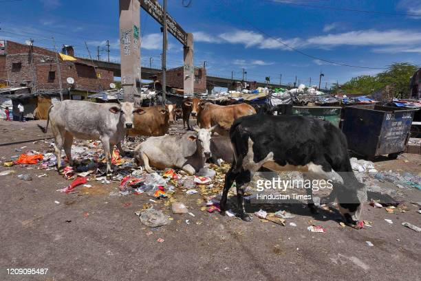Cattle seen next to a garbage dump on day ten of the 21day nationwide lockdown to curb the spread of coronavirus Harkesh Nagar on April 3 2020 in New...