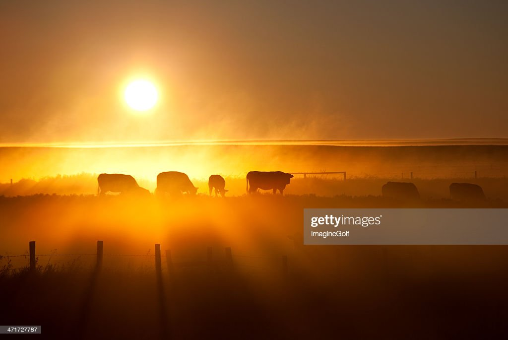 Cattle Silhouette on an Alberta Ranch : Stock Photo