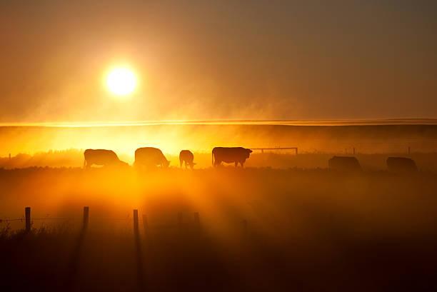 Cattle Silhouette On An Alberta Ranch Wall Art