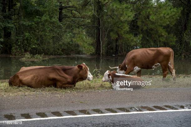 Cattle sit on the side of a road following Tropical Storm Imelda in Fannett Texas US on Friday Sept 20 2019 The remnants of Tropical Storm Imelda...