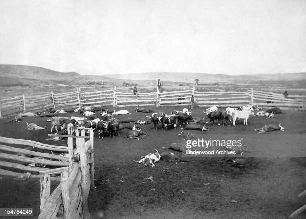 Cattle slaughtered for Indians on the reservation Dakota Territory 1885