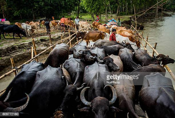 Illegal and highly profitable trade between India and Bangladesh in border area on 22 September 2016 The smugglers carry the buffaloes so that...
