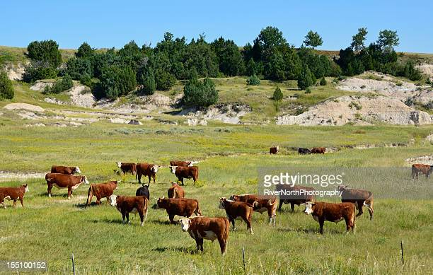 cattle, south dakota - south dakota stock pictures, royalty-free photos & images