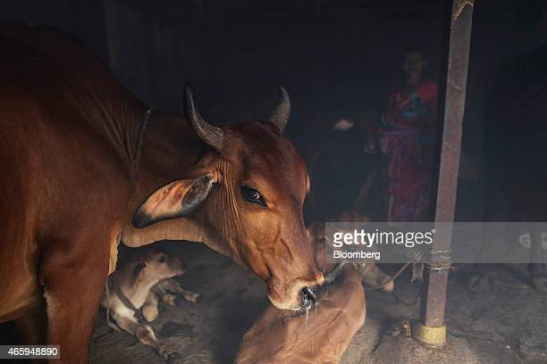 Cattle stand in a cow shelter known as a goshala in Mumbai India on Tuesday March 10 2015 The government of the state of Maharashtra last week banned...