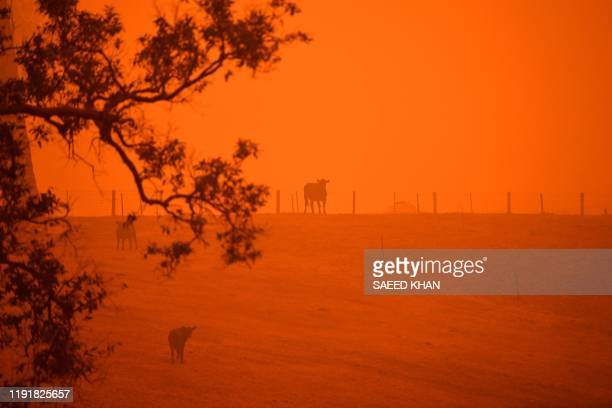 TOPSHOT Cattle stand in a field under a red sky caused by bushfires in Greendale on the outskirts of Bega in Australia's New South Wales state on...