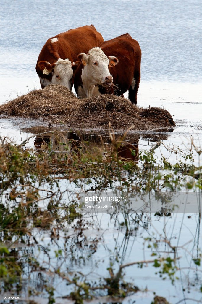 Cattle stand in high water on a flooded farm after Hurricane Ike hit September 15, 2008 in Winnie, Texas. Ike caused extensive damage along the Texas Gold Coast, leaving millions without power.