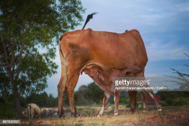 Cattle Standing On Field Against Sky