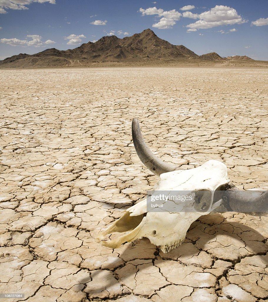 Cattle Steer Skull on Dry Desert Land : Stock Photo