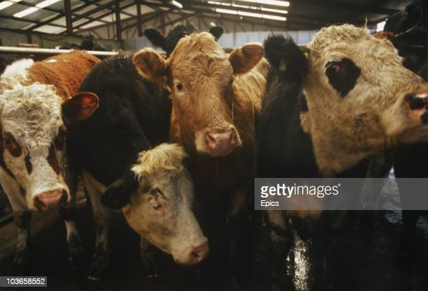 Cattle take an interest in being photographed at Claremorris cattle market, County Mayo, circa 1995.