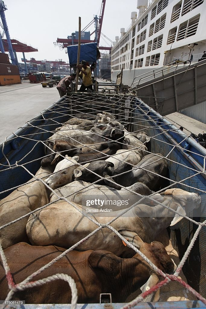Cattle that recently arrived from Australia is unloaded at Tanjung Priok Port on July 30, 2013 in Java, Indonesia. Indonesia recently lifted their restrictions on live cattle imports from Australia. The change of policy has been welcomed by Australian exporters and cattlemen, and the extra 25,000 cattle exported should ease pricing that has peaked in Ramadan. The new import law issued yesterday specifies that all cattle must be ready for immediate slaughter and consumption.