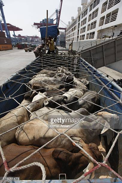 Cattle that recently arrived from Australia is unloaded at Tanjung Priok Port on July 30 2013 in Java Indonesia Indonesia recently lifted their...
