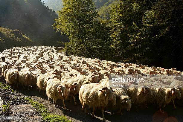 Cattle transhumance in the Pyrenees