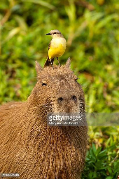 Cattle Tyrant, Machetornis rixosus, riding on the head of a Capybara, the world's largest rodent, moving through swampland. Pantanal, Brazil. Tyrant flycatcher hunts for insects disturbed by the rodent.