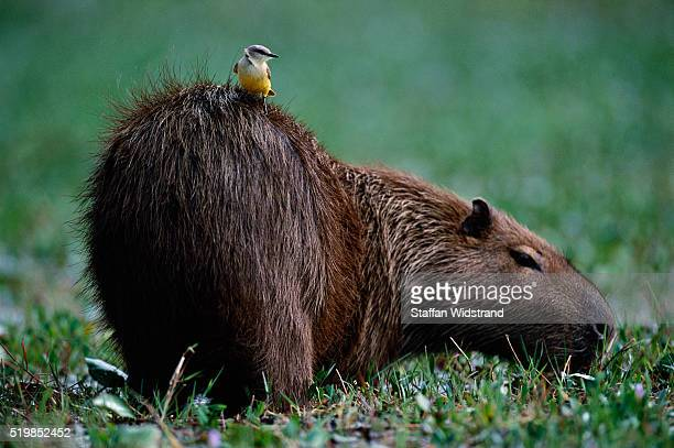 Cattle Tyrant Perching on a Capybara