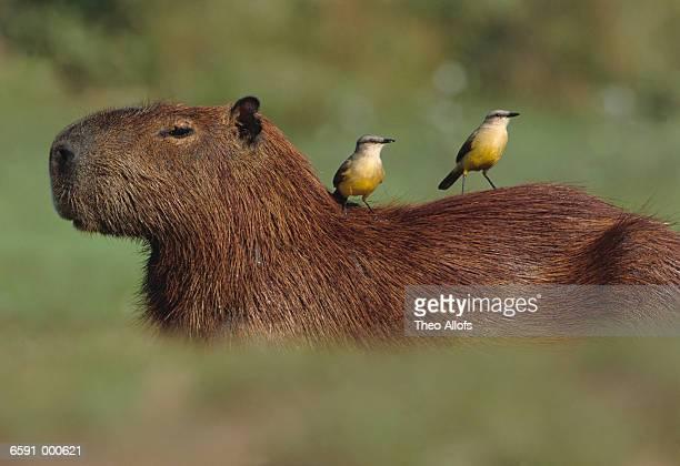 Cattle Tyrants on Capybara
