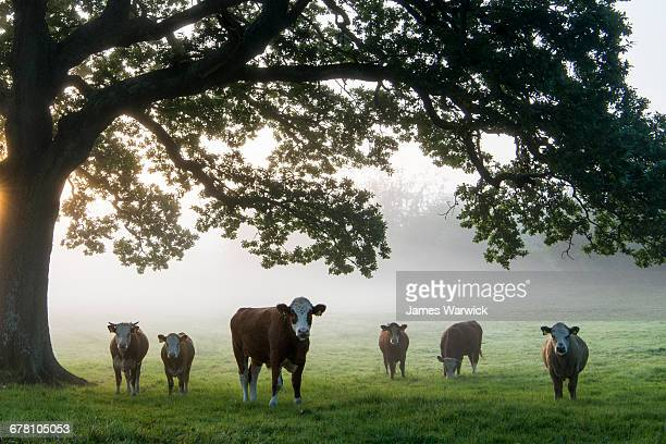 cattle under oak tree in pasture at dawn - organic stock pictures, royalty-free photos & images