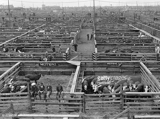 Cattle wait in pens prior to an auction at the Union Stockyards Omaha Nebraska September 1941