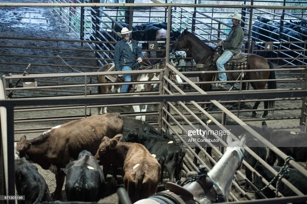Cattle wait to be sold at a livestock auction at Pruitt's