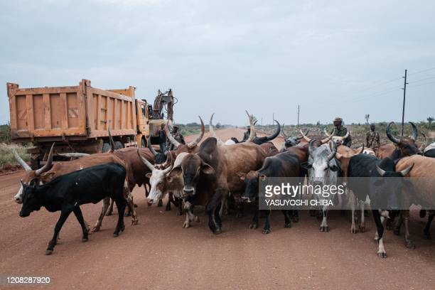 Cattle walk along the road where an oil pipe line will be constructed in parallel with the road near Biso in western Uganda on January 28 2020 When...