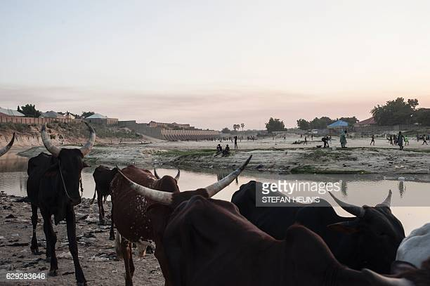 Cattle walk through the dried up Ngadda riverbed that flows towards Lake Chad during the rainy season in Maiduguri in northeastern Nigeria on...