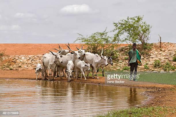 Cattle watering in Kujama, Kaduna State, Nigeria