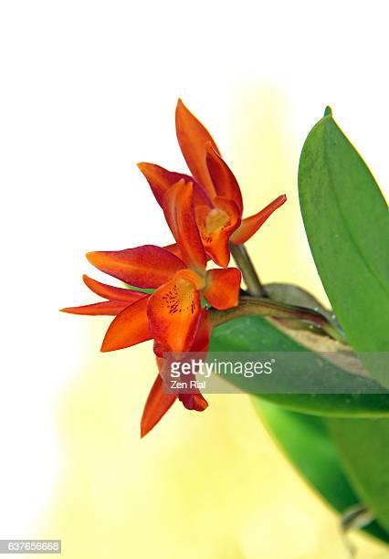 cattleya aurantiaca, orange cattleya, amalia aurantiaca, broughtonia aurea, epidendrum aurantiacum, epidendrum aureum, guarianthe aurantiaca, laelia aurantiaca - zen rial stock photos and pictures