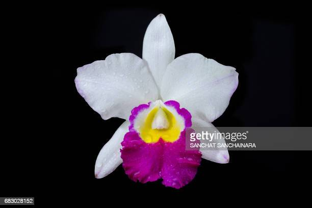 Worlds Best Cattleya Stock Pictures Photos And Images