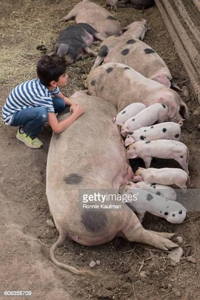 Caucasian boy admiring pig and piglets on farm