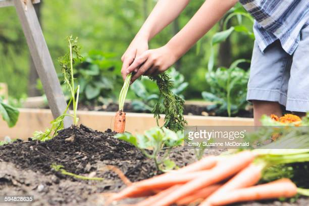 Caucasian boy picking carrots in garden