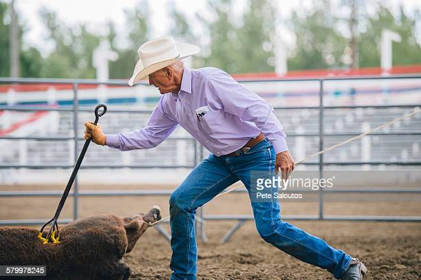 caucasian cowboy branding cattle in rodeo - livestock branding stock photos and pictures