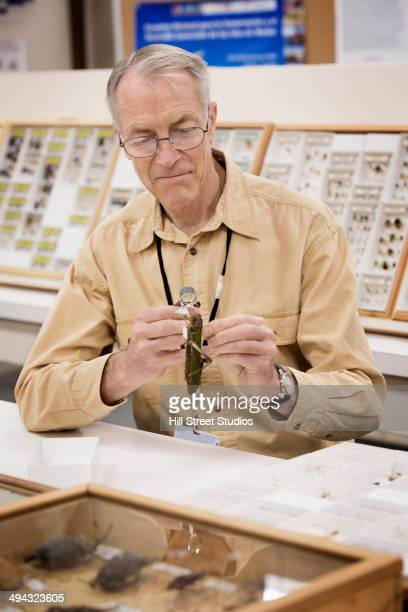 Caucasian curator examining bug specimen in museum