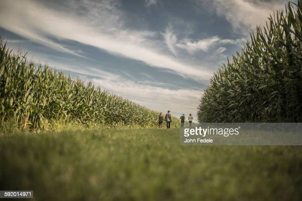 caucasian family walking in corn field - corn field stock photos and pictures