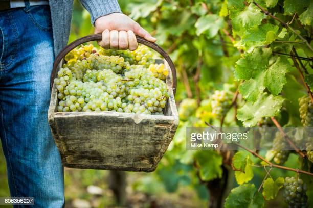 Caucasian farmer carrying grapes in vineyard