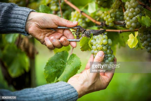 caucasian farmer clipping grapes from vine - cultivated land stock pictures, royalty-free photos & images