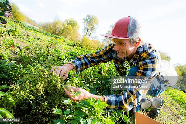 caucasian farmer examining plants - the slants stock pictures, royalty-free photos & images