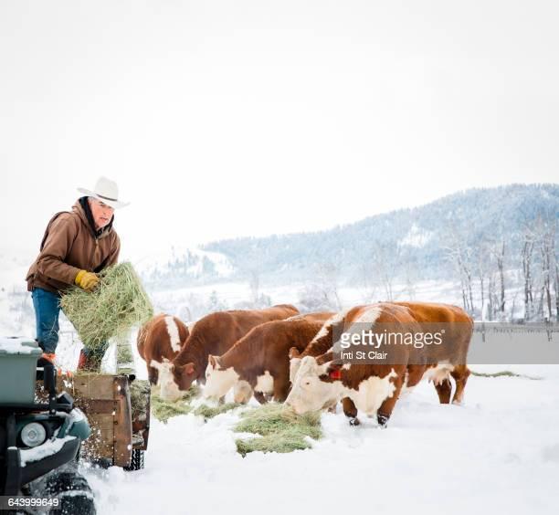 Caucasian farmer feeding cattle in snowy field